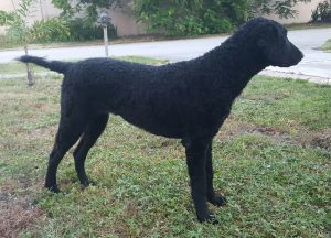 Supra curly coated retriever