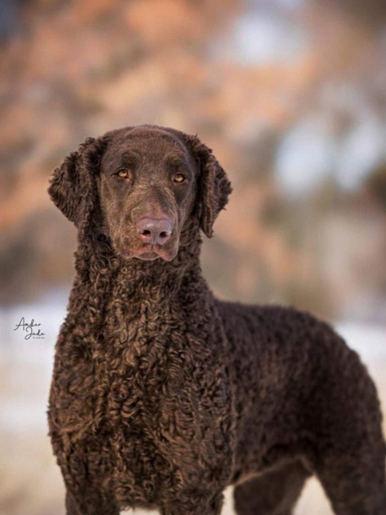 Champion curly coated retriever